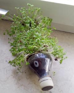 Nach einer Woche sind dem Igel grüne Stacheln gewachsen. Die Kresse kann jetzt geerntet werden!