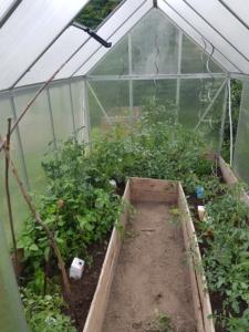 Blick ins Gewächshaus auf viele verschiedene Tomatenpflanzen. Alle Pflanzen höchsten einen Meter hoch und tragen noch keine reifen Tomaten.