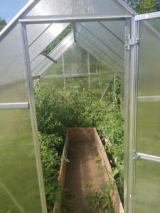 Blick ins Gewächshaus: Die Tomaten sind höher gewachsen, haben aber noch keine reifen Früchte.
