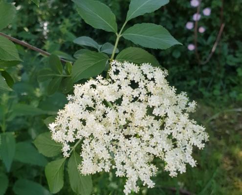 Eine Blüten·dolde vom Holunder